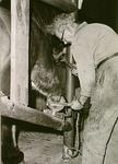 1684 Het beslaan van een paard: Gerardus Wilhelmus Verhoeven in de hoefstal, ca. 1965