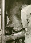 1686 Het beslaan van een paard: Gerardus Wilhelmus Verhoeven in de hoefstal, ca. 1965