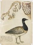 1030 Een rotgans, lopend op stellen en gorzen, met de mosselen, waarin deze vogel zou groeien, (circa 1775), met ...