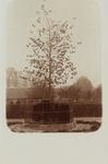 5847 Gezicht op de Wilhelminaboom (linde) in Wemeldinge