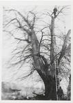 M 11139 Man aan het werk in de top van een grote boom, tegen de boom een lange ladder