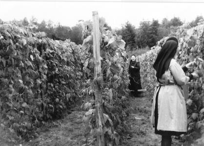 102077 De sperciebonen kunnen geplukt worden in tuin van het klooster te Hilversum