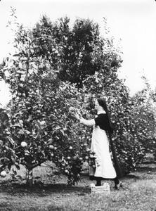 200004 De appels worden geoogst in de priorij te Heesch
