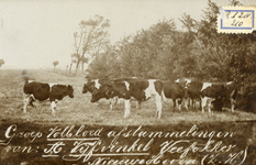 PB4107 Groep volbloed afstammelingen van A. Vijfvinkel, veefokker Nieuwenhoorn (ZH), ca. 1920