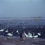 DIA_GF_1032 Bijvoeren van zwanen en meerkoeten tijdens de strenge winter van 1963; ca. 1963