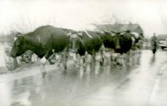 AB_WATERSNOODRAMP_028 Door het water verdreven koeien; 2 februari 1953