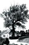 RO_BOOMWEG_12 De Salix alba Rockanje, genoemd naar de vindplaats, een wilgensoort die beter bestand is tegen zoute ...