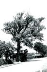 RO_BOOMWEG_13 De Salix alba Rockanje, genoemd naar de vindplaats, een wilgensoort die beter bestand is tegen zoute ...