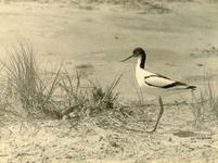 RO_QUACKJESWATER_08 Een Kluut bij haar nest in de omgeving van het Quackjeswater; 1938