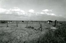 SP_MEELDIJK_012 Kijkje op de koeien in de polder Braband vanaf de Meeldijk; 1961