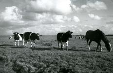 SP_MEELDIJK_022 Kijkje op de koeien in de polder Braband vanaf de Meeldijk; 1961