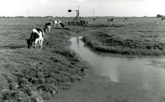 SP_MEELDIJK_023 Kijkje op de koeien in de polder Braband vanaf de Slikweg. Op deze plek ligt nu de wijk ...