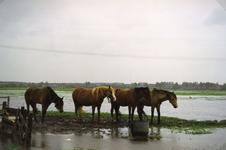 SP_WATEROVERLAST_012 Hoog water in de polder na overvloedige regenval. Paarden in de wei langs de Laneweg tussen ...