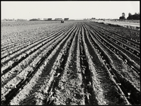 FOTO_GF_C167 Op de akker waar spruiten groeien; 1980