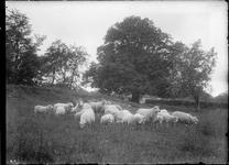 GN2641 Kudde schapen; ca. 1925