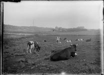 GN2712 Polder met koeien, op de achtergrond Koepel Zeeburg; ca. 1910