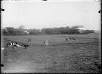 GN2713 Polder met koeien, op de achtergrond Koepel Zeeburg; ca. 1910