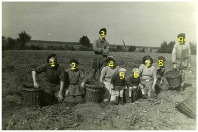 Familie Claes en van Meijl : aardappel rooien 1. Peter Claes, 2. Jac Claes, 3. Henk Brantenaars, 4. Miet Somers, 5. Bert van Meijl 6. Herman van Meijl , 7. Nel Claes, 8. opa Bert van Meijl, 9. Leo van Meijl
